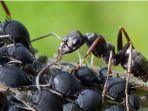 arti-mimpi-dikerumuni-semut-hitam.jpg
