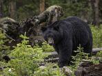arti-mimpi-melihat-beruang-hitam.jpg