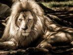 arti-mimpi-melihat-singa.jpg