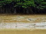 buaya-terlihat-berjemur-di-sepanjang-aliran-sungai-sebakis_20180402_121501.jpg