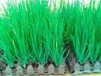 cara-menanam-bawang-merah-tanpa-tanah-menggunakan-wadah-telur.jpg