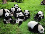ilustrasi-panda-di-chengdu-china.jpg