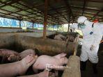 ilustrasi-peternakan-babi-ratusan-babi-di-palembang-mati-karena-virus.jpg