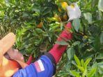 jalan-jalan-ke-agrowisata-buah-jeruk-gerga-kerinci-nikmati-rasa-buah-yang-unik.jpg