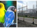 kejar-burung-love-bird-kesetrum-listrik.jpg