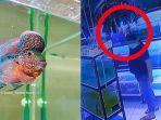 kiri-ilustrasi-ikan-louhan-dan-kanan-rekaman-aksi-pencurian.jpg