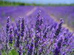 lavender-untuk-usir-nyamuk.jpg