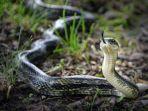 mimpi-dikejar-ular-1.jpg