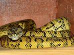 mimpi-melihat-ular-piton.jpg