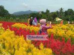 objek-wisata-taman-bunga-celosia-garden-lagi-ngehit-di-karimun.jpg