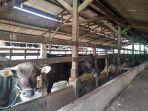 peternakan-sapi-yang-dikelola-dikawasan-agromarina-bp-batam.jpg
