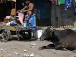 sapi-di-india-dianggap-hewan-suci_20160718_131633.jpg