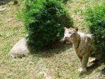 satu-di-antara-sejumlah-harimau-di-sinka-zoo-kebun-binatang.jpg