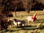 seekor-domba-di-inggris-terjebak-di-dalam-sebuah-kerucut-lalu-lintas_20161210_135403.jpg