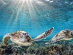 spesies-penyu-laut-yang-hidup-di-great-berrier-reef.jpg