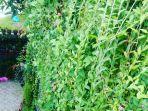 tanaman-lee-kwan-yew-atau-janda-merana.jpg
