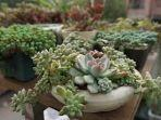 tanaman-sukulen.jpg