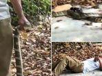 ular-king-cobra-6.jpg