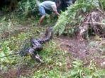 ular-piton-dengan-ditangkap-warga-rt-05-kelurahan-sumber-agung-kecamatan-lubuklinggau-utara.jpg