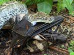 ular-sanca-karpet-yang-ditemukan-warga-memakan-kelelawar-di-belakang.jpg