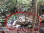 ular-sepanjang-8-meter-ditangkap-warga-tandikek-pariaman.jpg