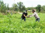 wakil-bupati-lingga-panen-semangka-petani-lokal.jpg