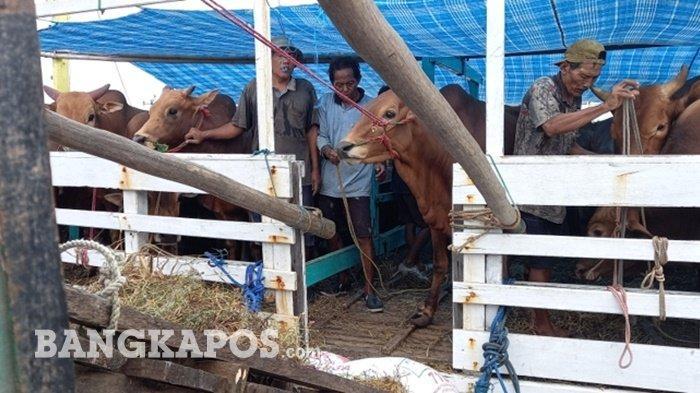 Harga Daging Sapi di Belitung Melonjak, Ini Kata Kepala Dinas Ketahanan Pangan