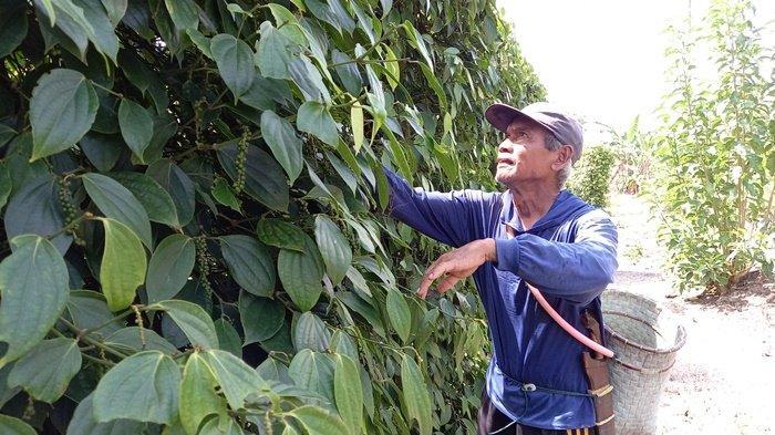 Perluasan Lahan Tanam, Petani Lada di Belitung Bakal Dapat Bantuan 1.600 Bibit Perhektar