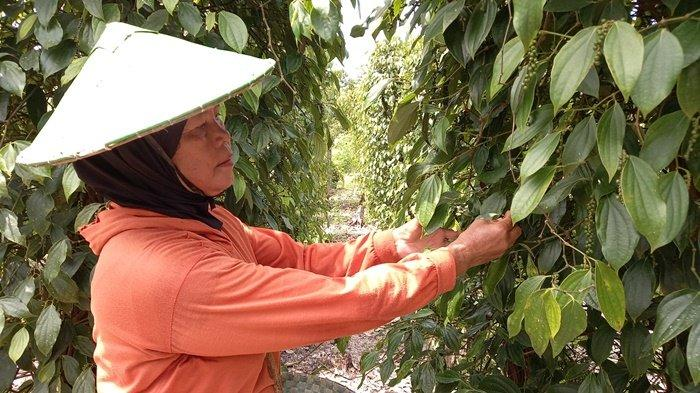 Memetik lada, Petani di Desa Buluh Tumbang, Tanjungpandan sedang memilih lada yang siap dipanen, Senin (5/4/2021)
