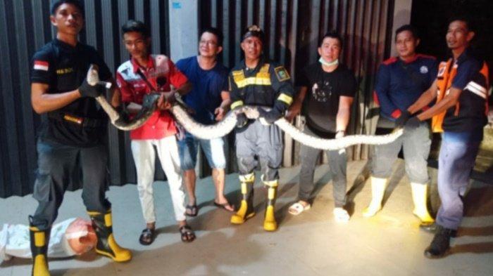 Regu 3 BPBD Beltim saat mengevakuasi ular sanca batik berukuran 4,5 meter di rumah warga di Desa Mekar Jaya, Manggar, Selasa (6/4/2021) malam