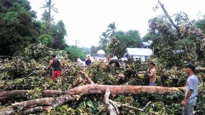 Pohon Durian Setinggi 40 Meter di Belitung Timur Tumbang, Nyaris Hantam Dua Mobil dan Warung
