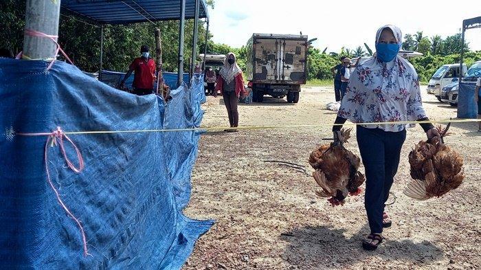 40.000 Ekor Ayam Merah Disiapkan untuk Kebutuhan Idul Fitri di Belitung