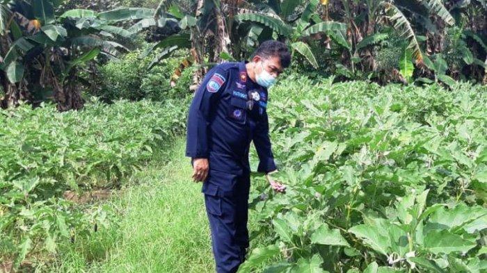 WBP Lapas Tanjungpandan Garap Lahan Kosong Jadi Area Perkebunan