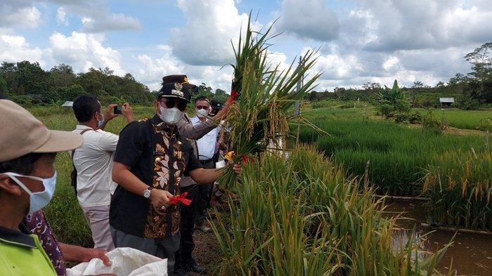 Kelompok Petani 'Sulap' Lahan Kritis jadi Sawah Apung, Bupati Belitung Timur Ingin Petani Mencontoh