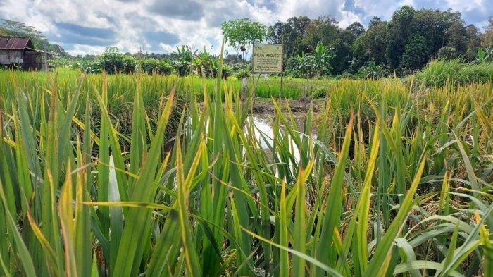 Kisah Sukses Petani di Desa Jangkang Olah Lahan Kritis Jadi Sawah Apung,5 Rakit Hasilkan 250 Kg Padi - 20210611-sawah-apung4.jpg