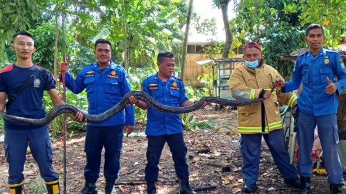 Anggota Damkar BPBD Kabupatrn Belitung saat mengevakuasi ular berukuran 4 meter dirumah warga Pangkal Lalang, Tanjungpandan, Belitung. Rabu (16/6/2021).