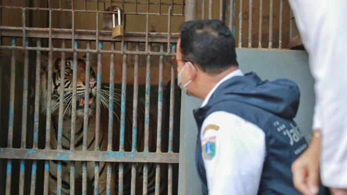 Anies Baswedan Jenguk 2 Harimau Sumatera di Ragunan Terpapar Covid-19, Begini Gejalanya