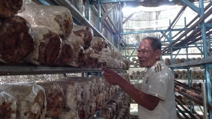 Budidaya Jamur Tiram Belitung Perhari Panen 10 Kilogram, Suharno Temukan Formula yang Pas