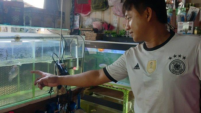 Louhan Mulai Digandrungi Pehobi Ikan Hias di Tanjungpandan
