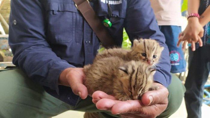 Saat Cari Rumput, Seorang Warga Temukan Dua Anak Kucing Hutan