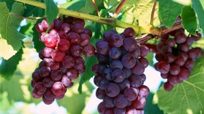 Anggur Merah Memiliki Segudang Manfaat, Bisa Sembuhkan Asam Urat!