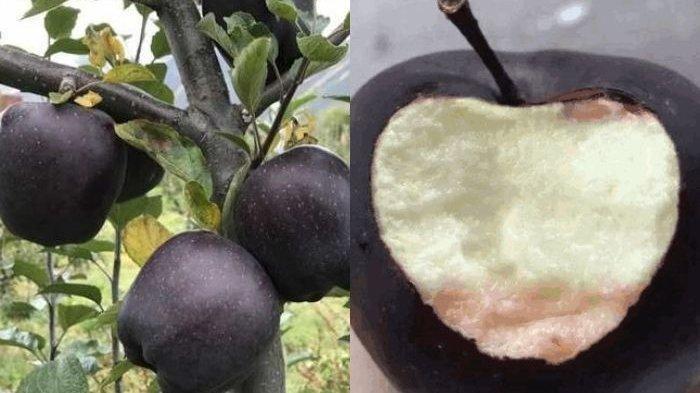 Para Petani Ogah Menanam Apel Hitam Laku Dijual Rp 280 Ribu per Buah, Kenapa Ya?
