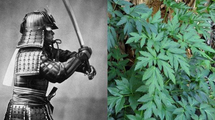 Ini Rahasia Awet Muda Samurai Jepang, Ternyata Tumbuh di Indonesia