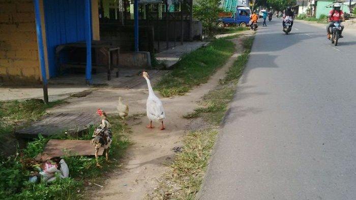 Unik! Kisah Persahabatan Ayam dan Angsa, Kemanapun Berjalan Beriringan