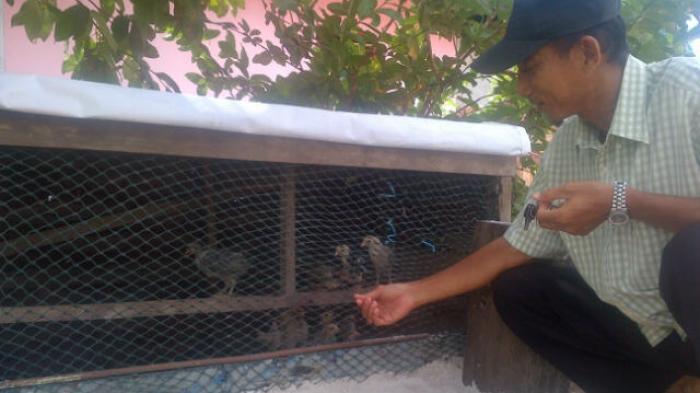 Dua Tahun Ternak Ayam, Warga Manggar: Sehat-sehat Saja tak Ada yang Mati