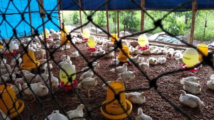 Harga Daging Ayam di Beltim Tertinggi di Babel, Sempat Tembus Rp 60 Ribu Perkilogram