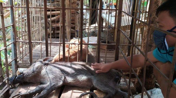 Warga Heboh Ada Babi Hutan Berkaki Seperti Ayam, Makanannya Seperti Manusia, Suka Minum Kopi