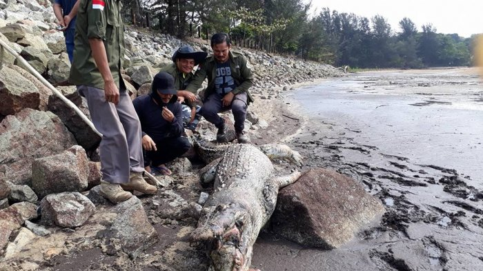 Bangkai Buaya Sepanjang 3 Meter Ditemukan di Dermaga Peltim Muntok