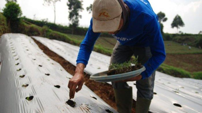Tahun ini Pemerintah Keluarkan KUR Pertanian, Bunga 6 Persen dan Tanpa Anggunan