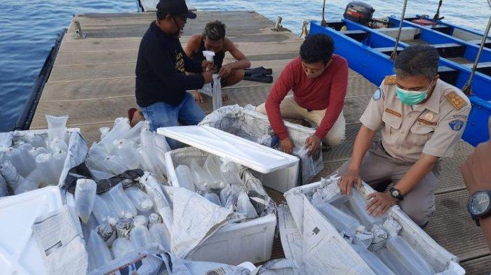 Ekspor Benih Lobster Agustus Mencapai 6,43 Juta Dollar AS, Melonjak 75 Persen
